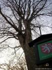 památný strom u zámku  (klikni pro zvětšení)