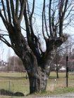 Památný strom na rozcestí u Železné  (klikni pro zvětšení)