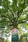 Památný strom v Albrechticích  (klikni pro zvětšení)