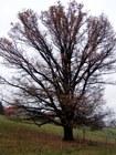 Památný strom  (klikni pro zvětšení)